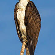 Osprey Perched In Yellowstone National Park Poster