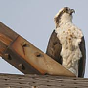 Osprey -seahawk Poster