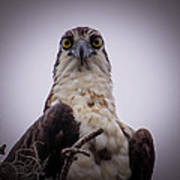 Osprey Watching I Poster