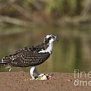 Osprey With Breakfast Poster