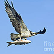 Osprey With Mullet Poster
