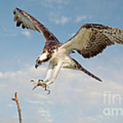 Osprey With Talons Extended Poster