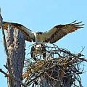 Ospreys Copulating In New Nest3 Poster