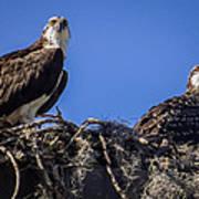 Ospreys In The Nest Poster