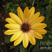 Osteospermum Orange Daisy Poster
