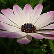 Osteospermum Whiter Shade Of Pale Poster