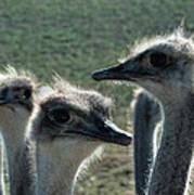 Ostrich Round-up Poster