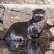 Otter Posing Poster