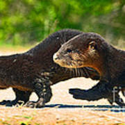 Otters Crossing The Road  Poster