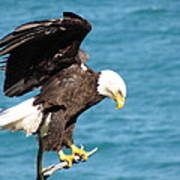 Our Finest American Bald Eagle Poster