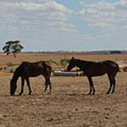 Outback Horses Poster