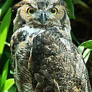 Owl Portrait Poster