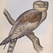 Owl Steanorninae Poster