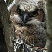 Owlet On The Watch Poster