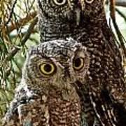Owls From Amado Arizona Poster