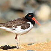 Oyster Catcher 6-4 Poster by Diane Rada