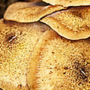 Oyster Mushroom Poster