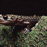 Pacific Giant Salamander On Mossy Rock Poster