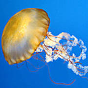 Pacific Sea Nettle Poster