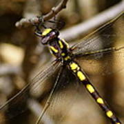 Pacific Spiketail Dragonfly On Mt Tamalpais 2 Poster