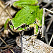Pacific Tree Frog 2a Poster