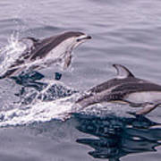 Pacific White Sided Dolphins Poster