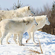 Pack Of Arctic Wolves Poster