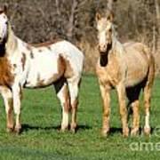 Paint And Palomino Mustang Poster