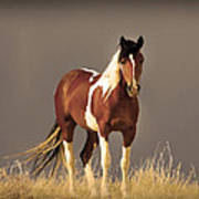 Paint Filly Wild Mustang Sepia Sky Poster
