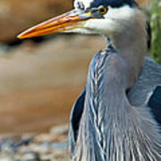 Painted Blue Heron Poster
