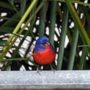 Painted Bunting Bird Poster