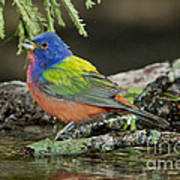 Painted Bunting Drinking Poster