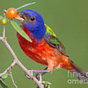 Painted Bunting Eating Granjeno Berry Poster