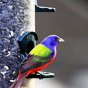 Painted Bunting - Img 9757-002 Poster