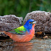 Painted Bunting Passerina Ciris In Water Poster
