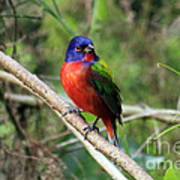 Painted Bunting Photo Poster