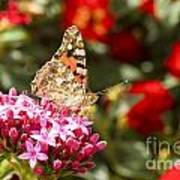 Painted Lady Butterfly Poster