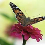 Painted Lady Butterfly On Zinnia Poster