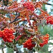 Painted Mountain Ash Berries Poster