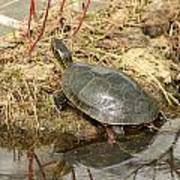 Painted Turtle Reflected In Water Poster