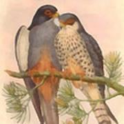 Pair Amur Falcons Poster