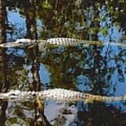 Pair Of American Alligators Poster