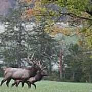 Pair Of Elk Bulls Poster