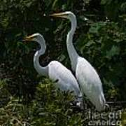 Pair Of Herons Poster