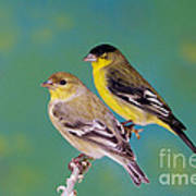 Pair Of Lesser Goldfinches Poster