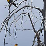 Pair Of Male Yellow-headed Blackbird   #9521 Poster