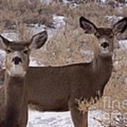 Pair Of Mule Deer   #7584 Poster