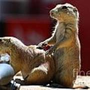 Pair Of Prairie Dogs Poster
