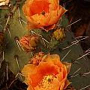 Pair Of Prickly Pear Cactus Blooms In The Sandia Foothills Poster