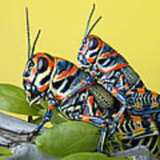 Pair Of Rainbow Grasshoppers On Ocotillo Poster